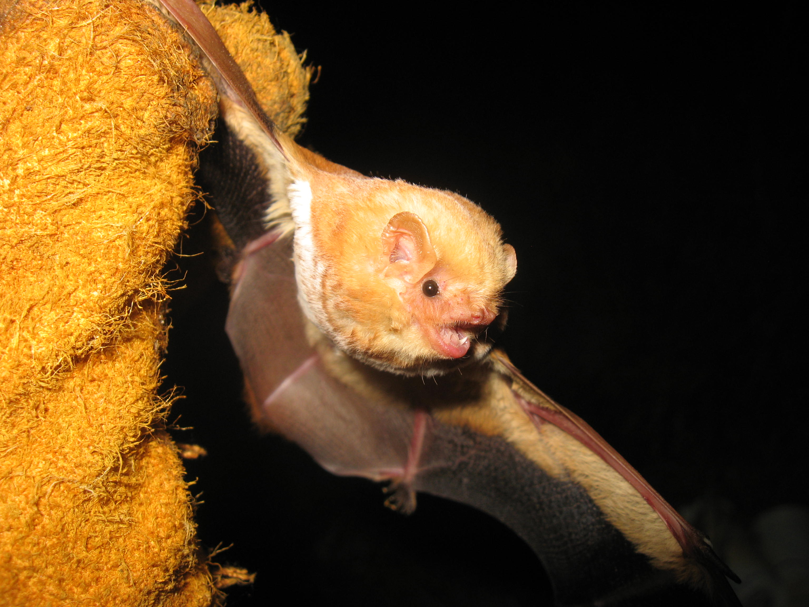 Eastern red bat. Photo by Keith Geluso.
