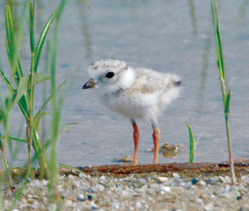 Piping plover chick. USFWS image.