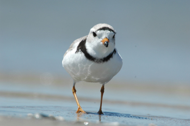 Piping Plover. Photo by USFWS.