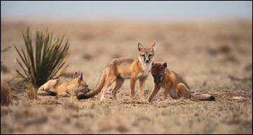 Swift Fox. Photo by USFWS.