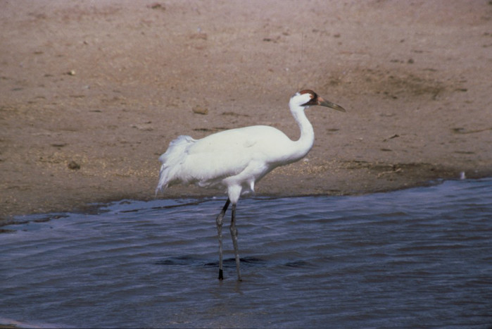Whooping Crane. Photo by USFWS.