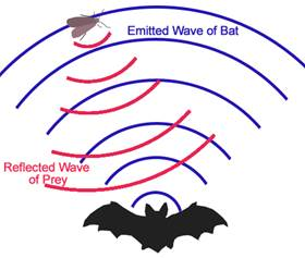 File:Bat echolocation.jpg